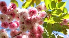 Sakura Japanese Cherry Flowers - stock footage