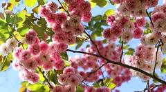 Sakura Blossom Stock Footage