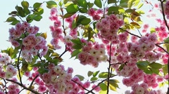 Oriental Cherry Blossom Stock Footage