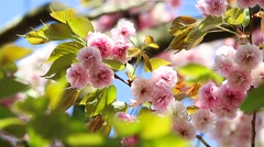 Pink Cherry Booming - stock footage
