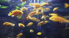 Labidochromis Caeruleus Fishes In Underwater Aquarium Stock Footage