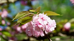 East Asian Cherry Blossom Stock Footage