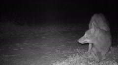 Coyote digging in burrow Stock Footage