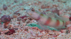Beautiful goby shrimp, Alpheus bellulus, HD, UP16197 Stock Footage