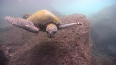 Cortez rainbow wrasse feeding on rocky shore, Thalassoma lucasanum, HD, UP26227 Stock Footage