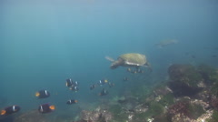 King angelfish waiting to be cleaned on rocky shore, Holacanthus passer, HD, Stock Footage