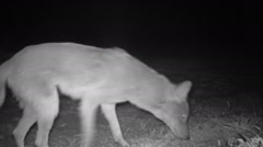 Coyote Female and Male Stock Footage