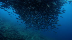 Black-striped salema swimming and schooling, Xenocys jessiae, HD, UP26099 Stock Footage