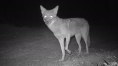 Coyote prowling the night Stock Footage