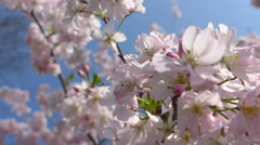 Blooming japanese cherry tree, sakura in the spring sunny day, HD Stock Footage