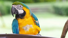 Cute macaw parrot bird resting on a branch, HD Clip. Stock Footage