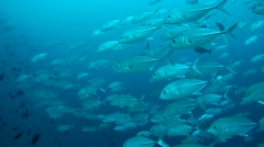 A large school of bigeye trevally (Caranx sexfasciatus) Stock Footage