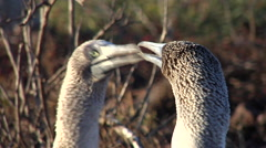 Blue-footed booby looking around, Sula neboxuii, HD, UP26079 Stock Footage