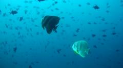 Two Orbicular batfish (Platax orbicularis) Stock Footage