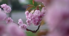 Pink Beautiful Japanese Cherry Blossoming Closeup in Broad Daylight on Natural Stock Footage