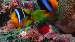 Orangefin anemonefish laying eggs, Amphiprion chrysopterus, HD, UP16248 Stock Footage