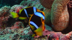 Orangefin anemonefish laying eggs, Amphiprion chrysopterus, HD, UP16249 Stock Footage