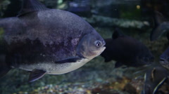 Pacu Fish. Underwater Aquarium Dubai Mall Stock Footage