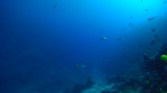 Grey reef shark swimming in deep channel, Carcharhinus amblyrhynchos, HD, Stock Footage