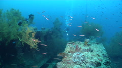 Videographer taking images on wreckage with Bushy brown black coral in Solomon - stock footage