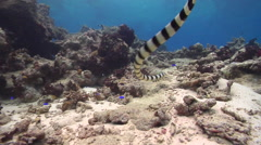 Banded sea krait swimming, Laticauda colubrina, HD, UP16276 Stock Footage