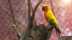 Cute Sun Conure parrot bird on tree branch, HD Clip Stock Footage