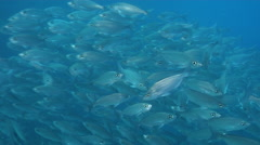 White salema swimming and schooling in bluewater, Xenichthys agassizii, HD, Stock Footage