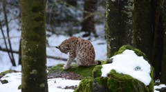 Eurasian lynx grooming fur in forest in the snow in winter Stock Footage
