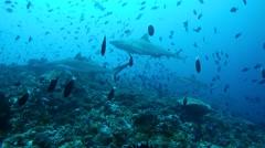 Grey reef shark (Carcharhinus amblyrhynchos) Stock Footage