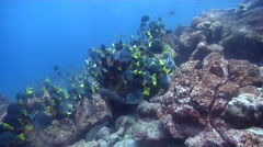 Razor sawtail feeding and schooling on rocky reef, Prionurus laticlavius, HD, Stock Footage