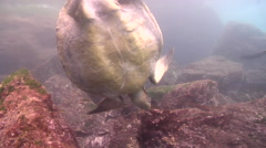 Chameleon wrasse feeding on rocky shore, Halichoeres dispilus, HD, UP26226 Stock Footage