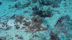 Spiny red gurnard on sand, Chelidonichthys spinosus, HD, UP26114 Stock Footage