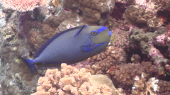 Cleaner wrasse cleaning and being cleaned, Labroides dimidiatus, HD, UP16289 Stock Footage