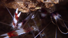 Boxer cleaner shrimp, Stenopus hispidus, HD, UP26798 Stock Footage