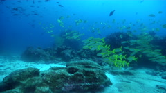 Mexican goatfish swimming and schooling on cleaning station, Mulloidichthys Stock Footage