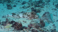 Spiny red gurnard on sand, Chelidonichthys spinosus, HD, UP26115 Stock Footage