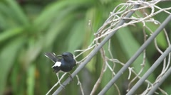 Oriental magpie robin standing on the electricity wire Stock Footage
