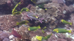 Blackspot goatfish swimming on rocky reef, Parupeneus spilurus, HD, UP26631 Stock Footage