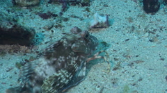 Spiny red gurnard on sand, Chelidonichthys spinosus, HD, UP26131 Stock Footage