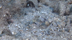 Twinspot goby swimming on sand, Signigobius biocellatus, HD, UP26769 Stock Footage
