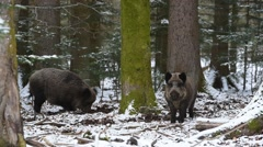 Two wild boars foraging in pine forest during snowfall in winter Stock Footage