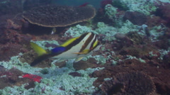 Crested morwong swimming on rocky reef, Cheilodactylus vestitus, HD, UP26609 Stock Footage