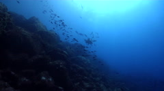 Pacific creole-fish swimming on rocky reef, Paranthias colonus, HD, UP26250 Stock Footage