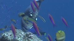 Moon wrasse feeding, Thalassoma lunare, HD, UP16329 Stock Footage