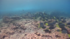 Juvenile Galapagos sea lion playing on rocky reef, Zalophus californicum Stock Footage