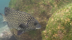 Pacific beakfish feeding on rocky shore, Oplegnathus insignis, HD, UP26213 Stock Footage