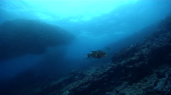 Mexican hogfish swimming and schooling on rocky reef, Bodianus diplotaenia, HD, Stock Footage