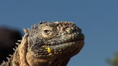 Galapagos land iguana looking around, Conolophus subcristatus, HD, UP26403 Stock Footage