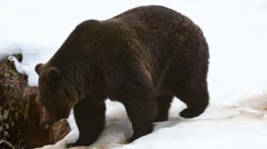 Brown bear entering den in the snow in late autumn / winter Stock Footage