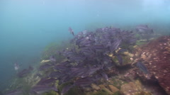 Peruvian grunt swimming and schooling on rocky shore, Anisotremus scapularis, Stock Footage